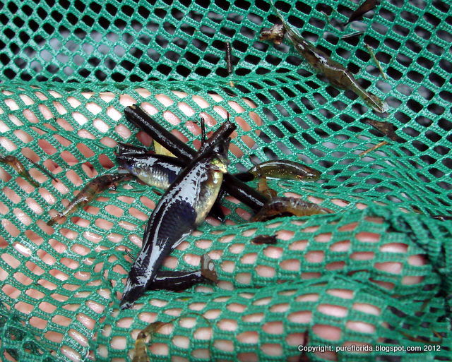 Pure florida swishes for florida native fishes for Fish native to florida
