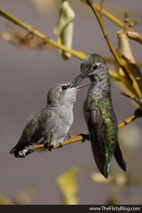 Fledgling Hummingbird Chick, Mom