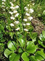 лекарственное растение грушанка круглолистная
