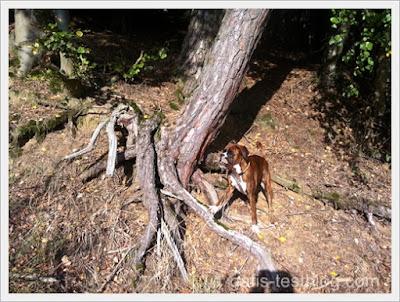 Boxer Amy an einer großen Baumwurzel