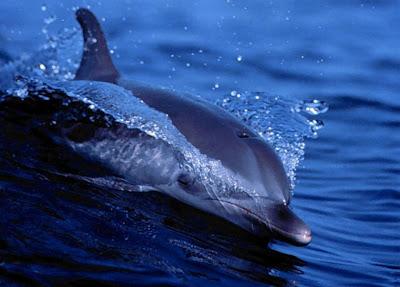 Delfin inteligente nadando en el mar