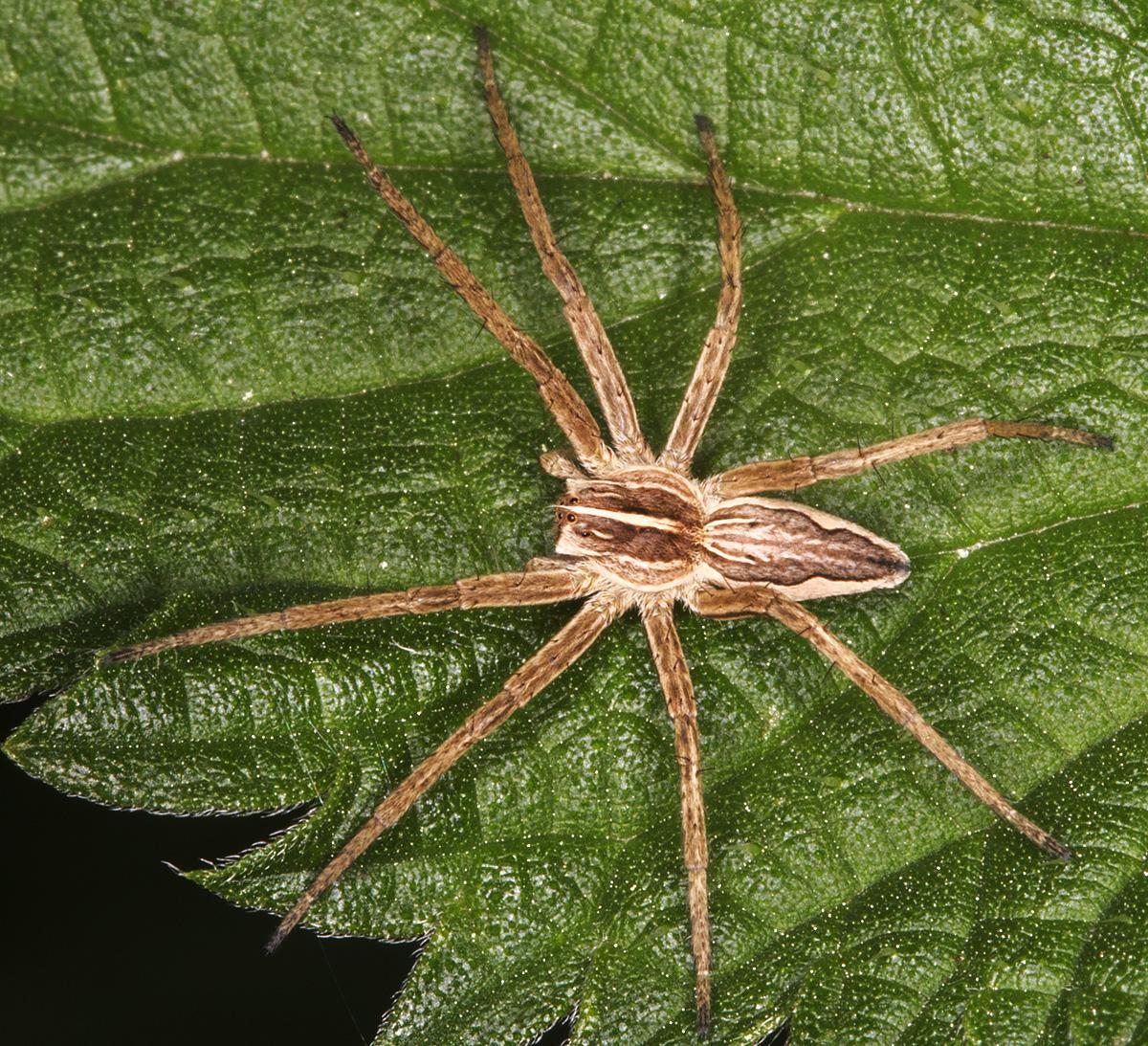 Nursery Web Spider, Pisaura mirabilis.  Gates Green Road, Coney Hall, 21 September 2014.