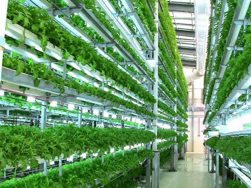 Hidroponik Sayuran Kangkung Kangkung Hidroponik