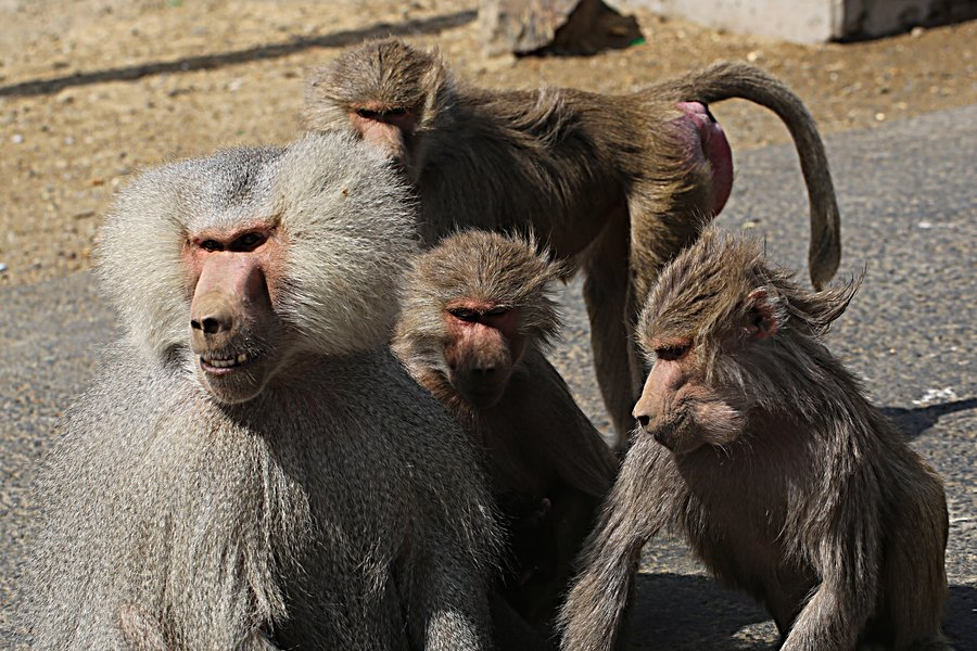 Gallery For > Hamadryas Baboons