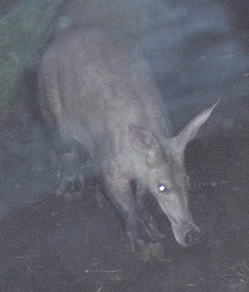 African-Aardvark-Anteater-Night-Shot