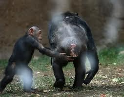 Macaco Co Fogo No...