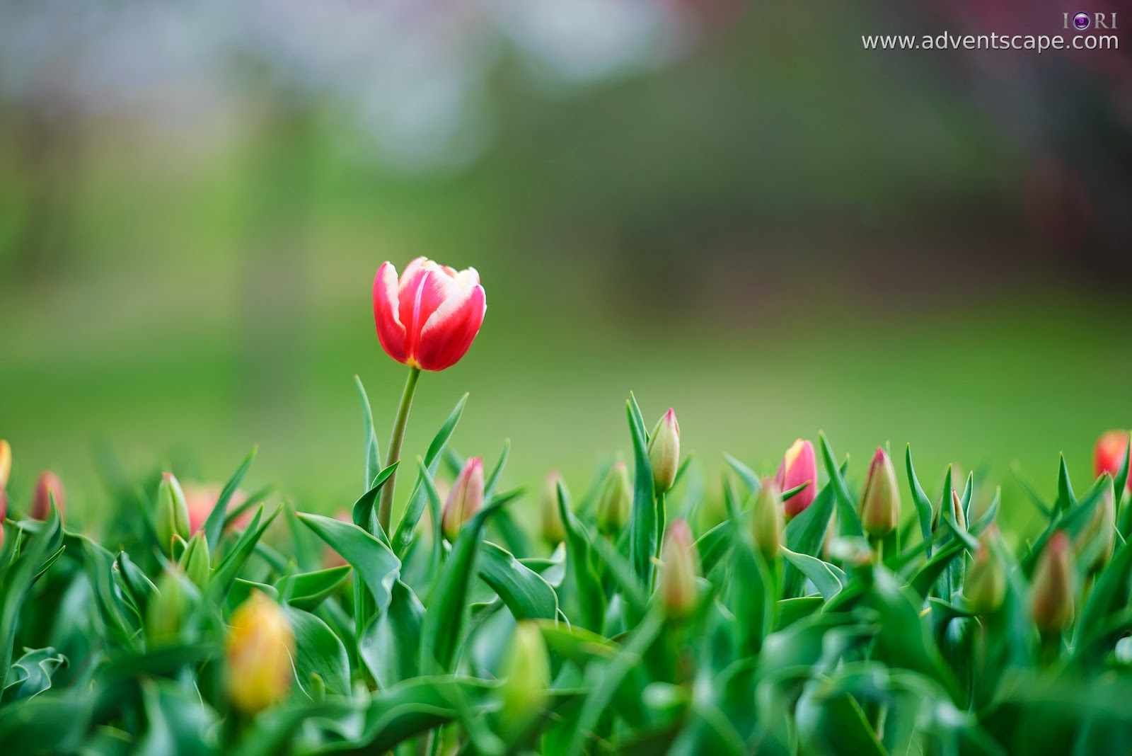 Philip Avellana, adventscape, iori, Tulip Top Gardens, garden, spring, NSW, New South Wales, Sutton, Old Federal Highway, Bywong, 2621, tulip, alone