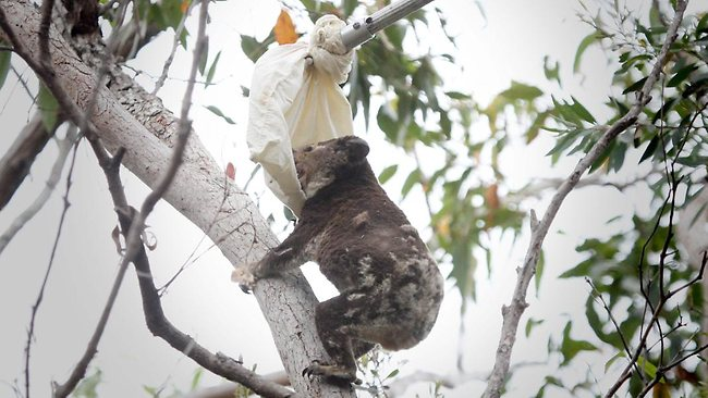 koala terbakar diselamatkan