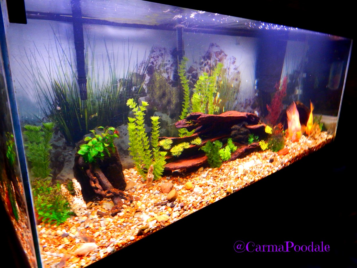 Carma poodale freshwater aquariums can be easy with for Easy aquarium fish