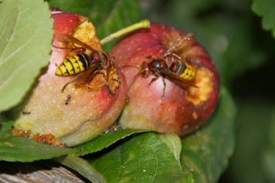 hornissenschutz achtung stechende insekten. Black Bedroom Furniture Sets. Home Design Ideas