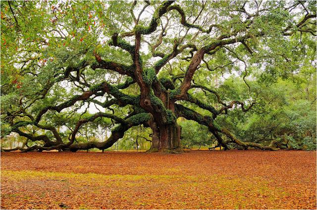 Quercus robur Roble Común el mas antiguo
