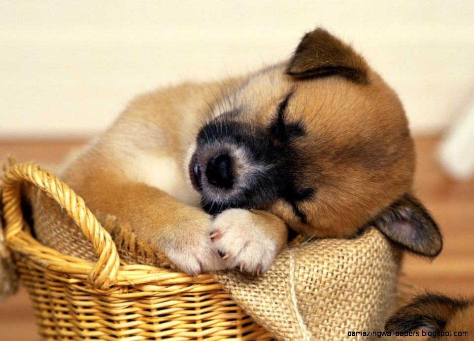 Image gallery for  a cute puppy sleeping
