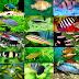 Ikan Hias Jenis Gambar Dan Budidaya Ikan Hias Air Tawar Laut Aquarium