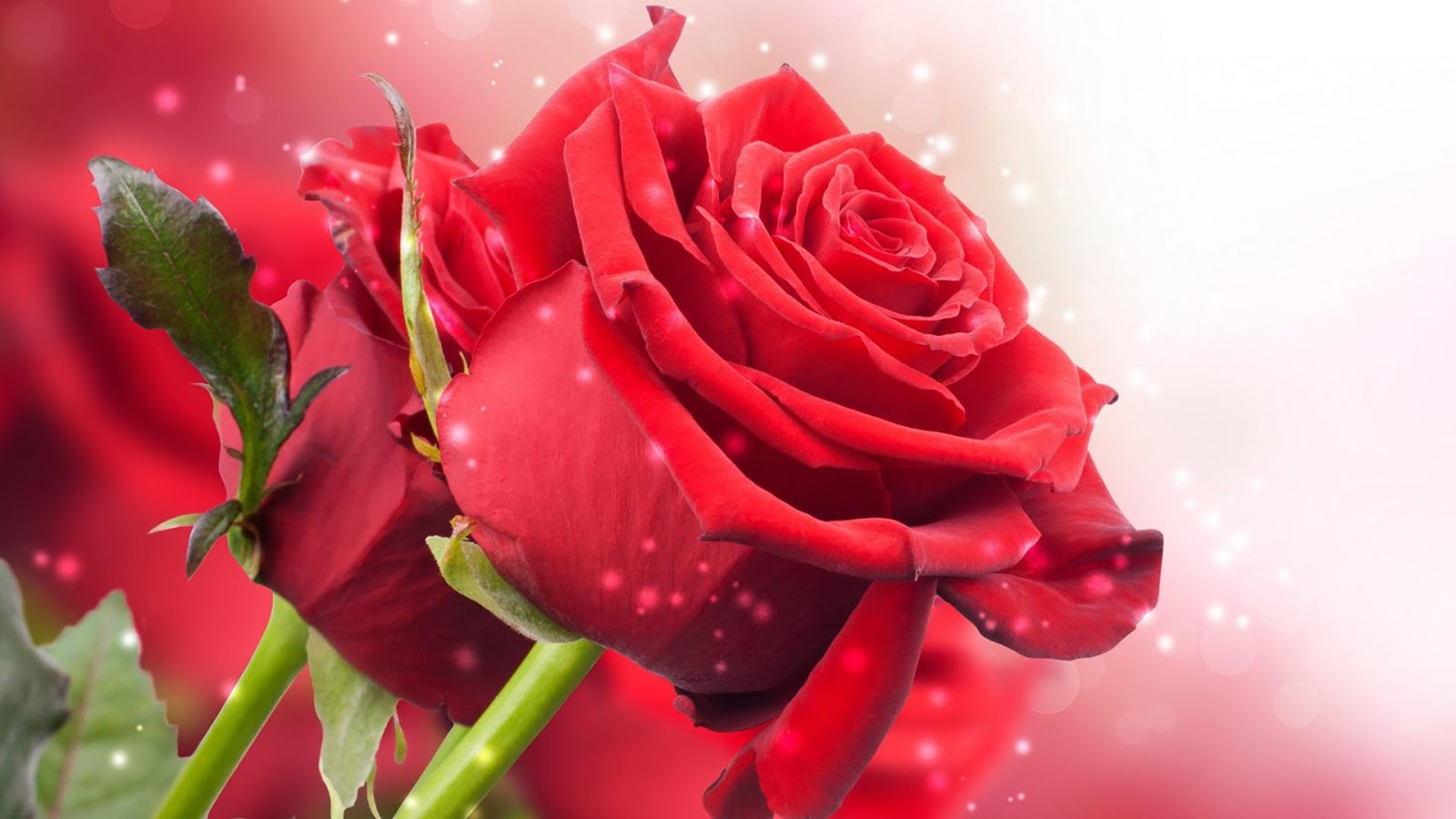 rose day wallpaper hd all greetings valentines cards new year