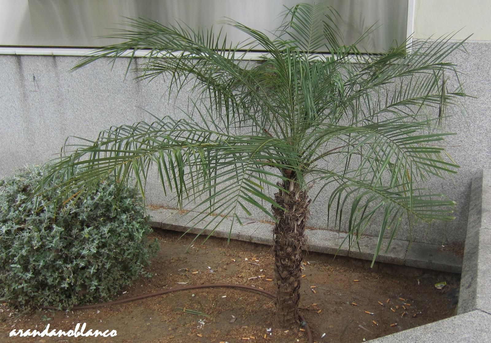 Elarbolmiamigo encinarosa phoenix roebelenii palmera - Palmeras pequenas para jardin ...
