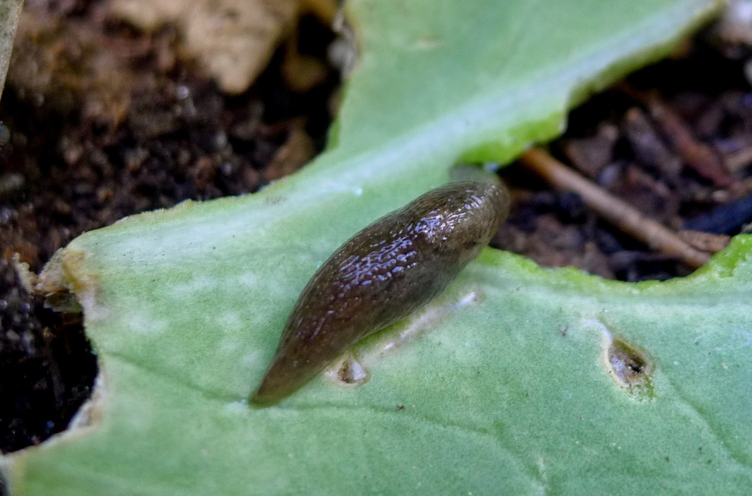 Slug on cabbage, organic pest control