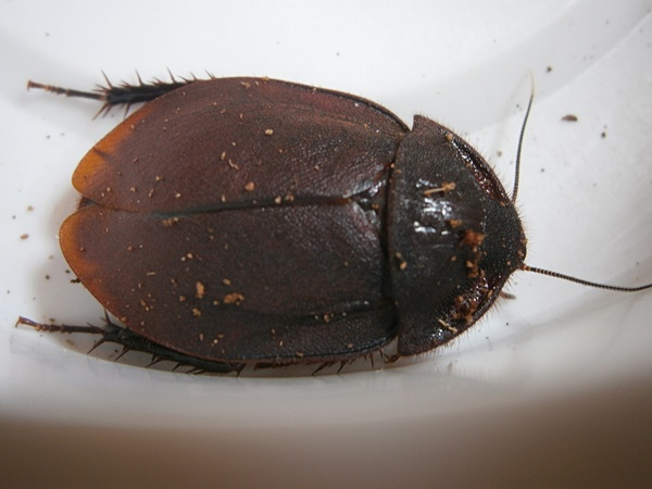Hisserdude's Roaches - Page 2 E.cap%25236