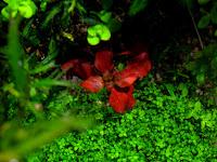 hybrida red