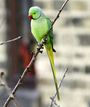 Bradshaw Ring Necked Parakeet