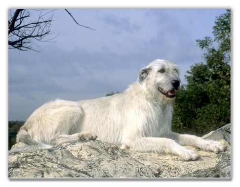Irish Wolfhound Puppies on Irish Wolfhound