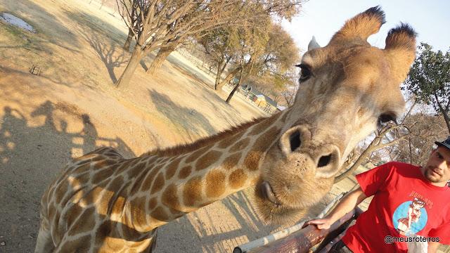 Girafa no Lion Park - Johannesburg