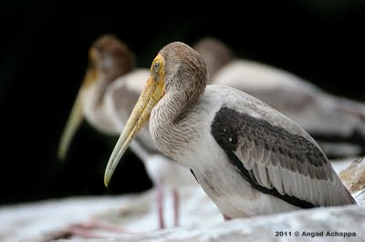 juvenile painted stork