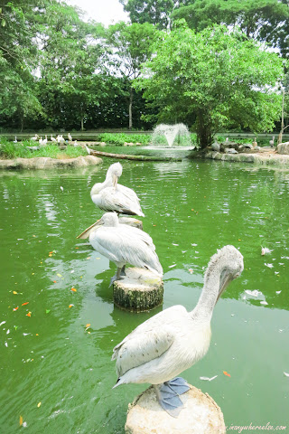 Pelicans in Jurong Bird Park
