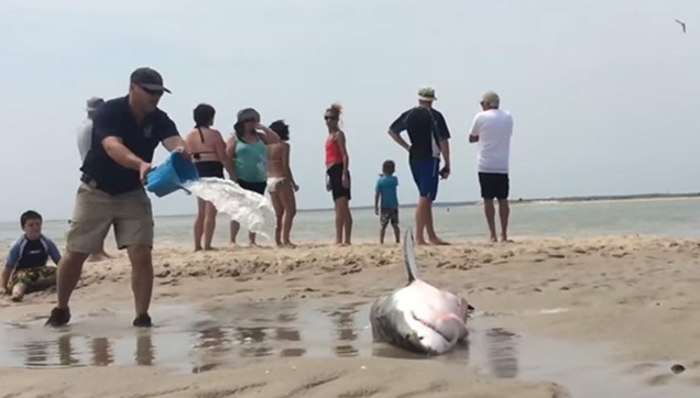 One of the Rescuers splashing ocean waters on the beached shark.