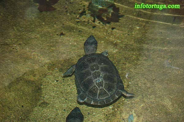 West African black turtle - Pelusios niger