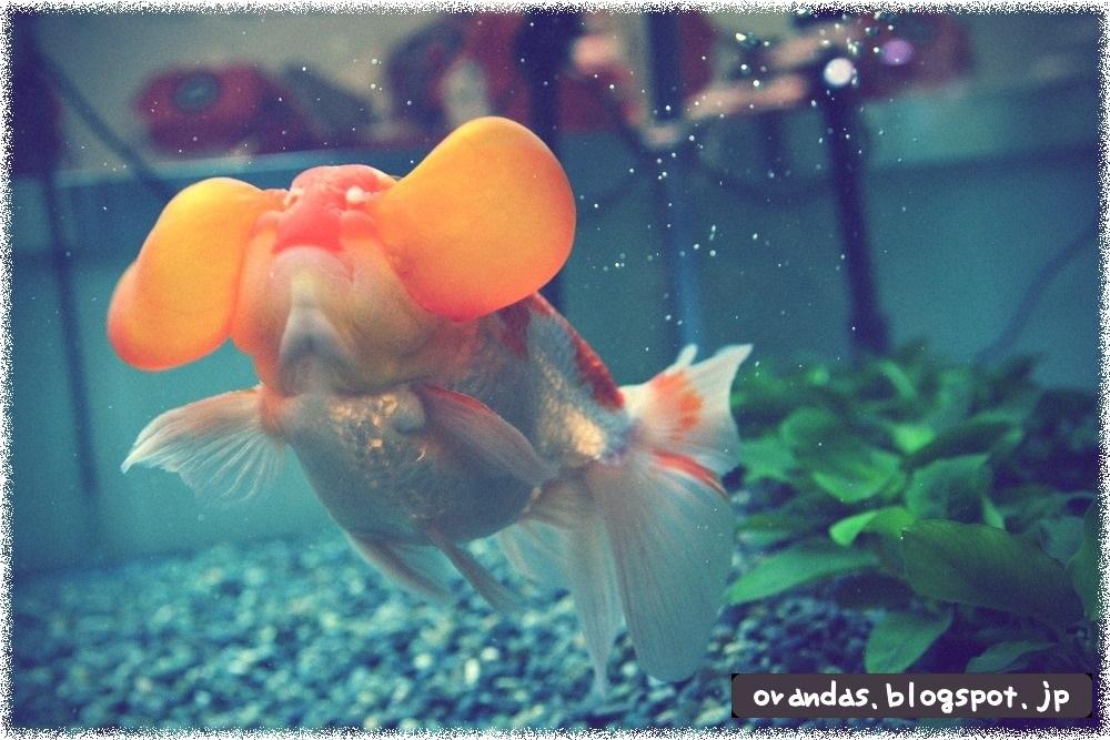 2014日本観賞魚フェアで農林水産大臣賞を受賞した水泡眼の画像です。