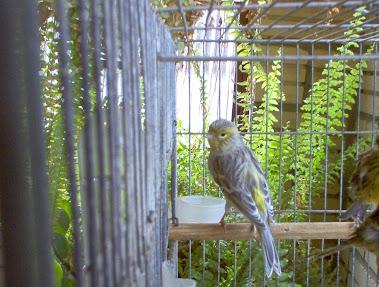 Fêmea Verde Opalina Nevada