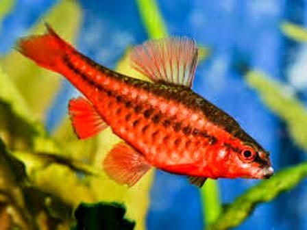 Pretty freshwater fish cherry barb freshwater fish for Pretty freshwater fish