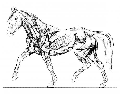 Der intelligente Reiter: Das Muskelsystem