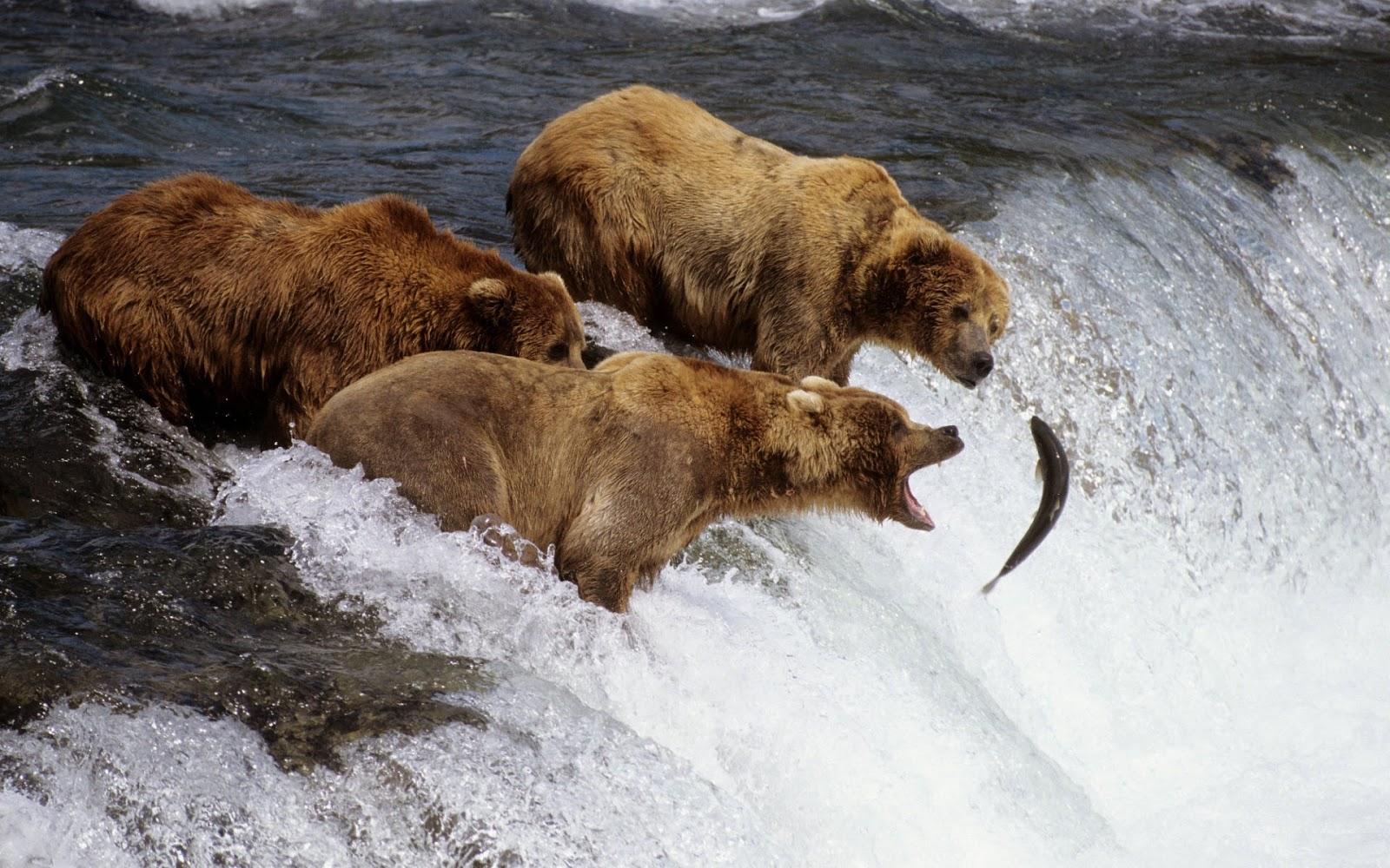 Bears Fishing Alaska