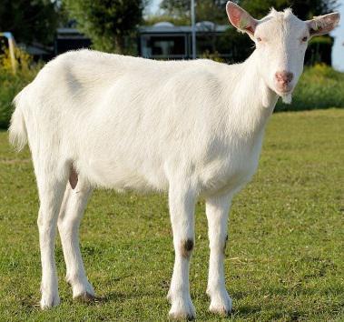 contoh budidaya ternak kambing jantan