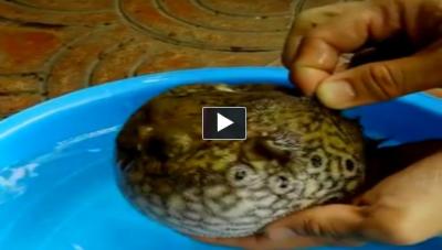 Nasıl korur izle balon balığı tehlike anında kendisini nasıl