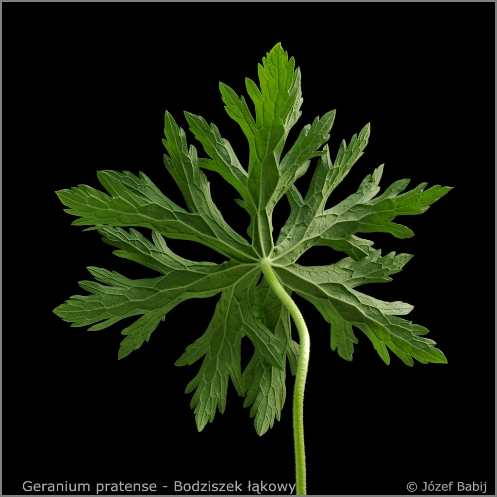 Geranium pratense  leaf from the bottom  - Bodziszek łąkowyleaf from the bottom  liść od spodu