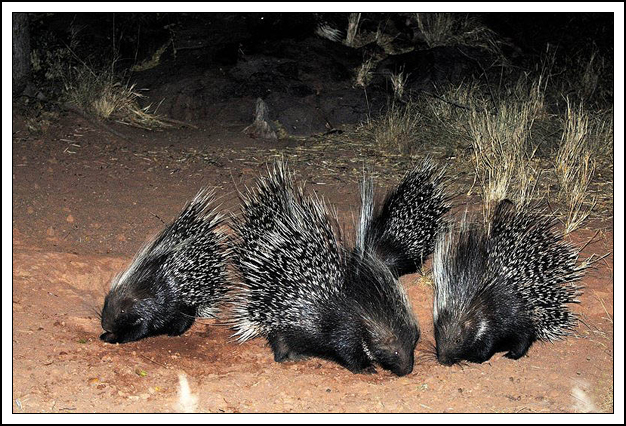 Follow the Piper: AFRICAN CRESTED PORCUPINES