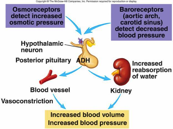 renal regulation of blood osmolarity A most critical concept for you to understand is how water and sodium regulation are integrated to defend the body against all possible disturbances in the volume and osmolarity of bodily fluids simple examples of such disturbances include dehydration, blood loss, salt ingestion, and plain water ingestion.