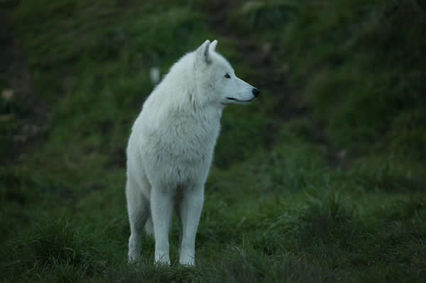 Stainless the Pure ~ Healer in Training Young+White+wolf