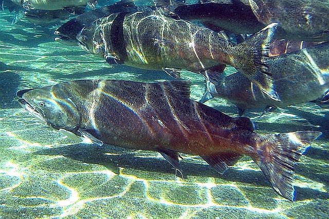 深海鮭魚是非常良好的魚油來源,富含Omega-3,用分子蒸餾萃取後不需擔心重金屬問題