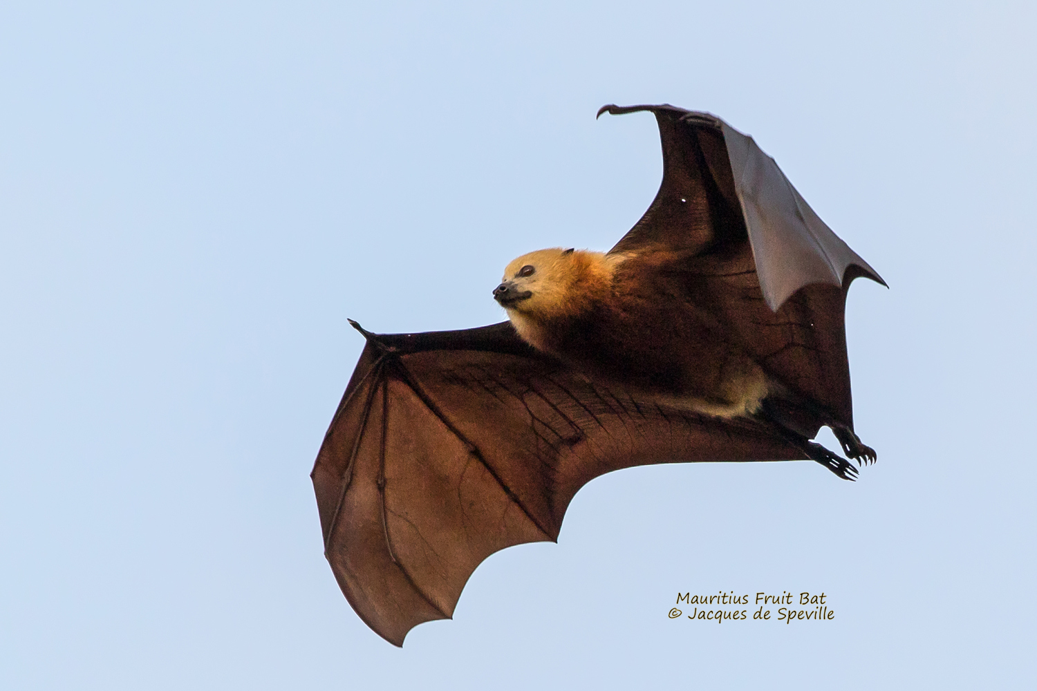 Honduran white bat flying