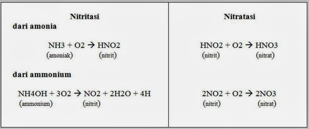 Nitrifikasi hanya bisa berlangsung dalam kondisi aerob (cukup oksigen