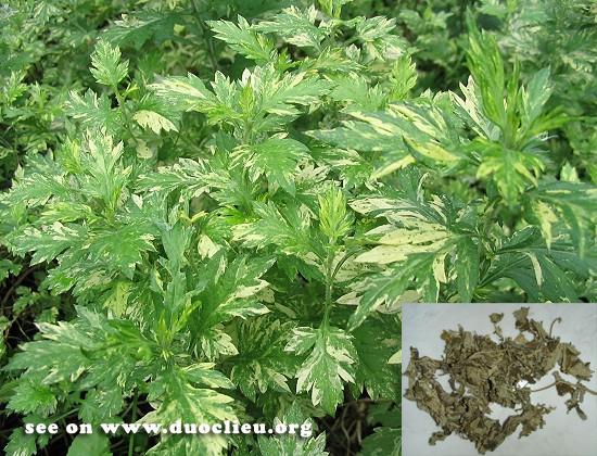 Artemisia argyi Levl. et Vant. (Fam. Asteraceae)