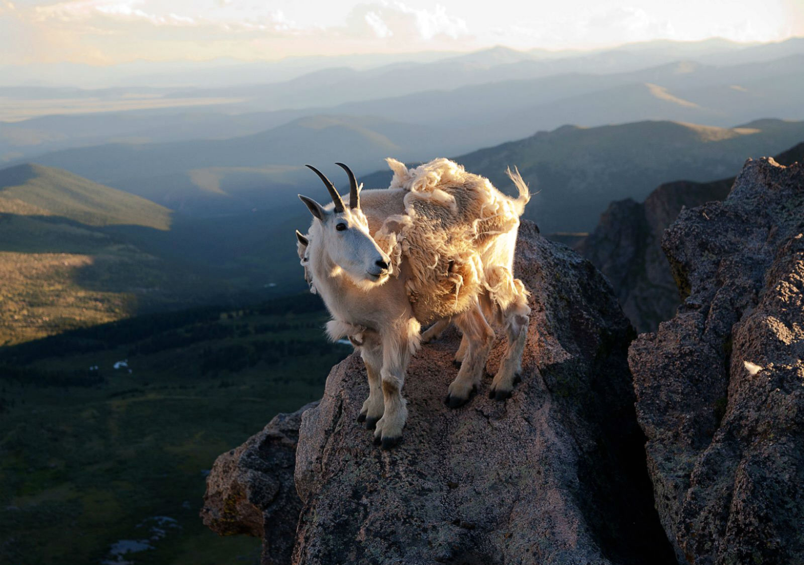 hd goat wallpapers fun animals wiki videos pictures