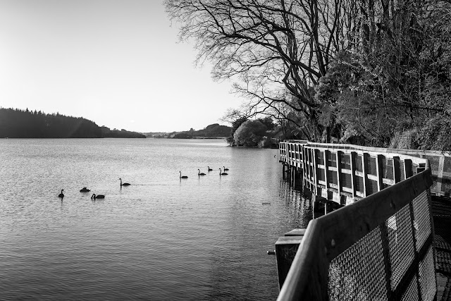 Swans in black and white lake karapiro