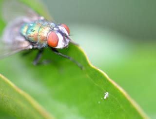 macro-photography-fly-4.jpg