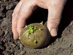 как вырастить: картофель подготовка к посадке