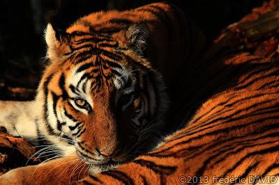 tigre animal animalier nature parc des félins Nesles Seine-et-Marne
