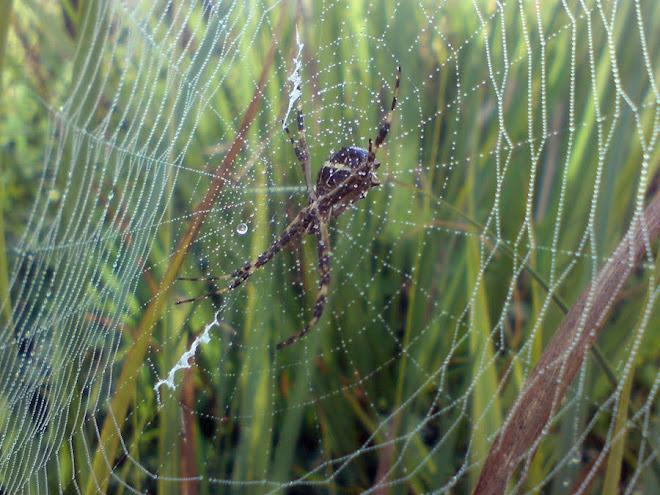 Cobweb on morning dew. Teia de aranha com gotinhas de orvalho